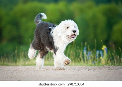 Funny bobtail puppy running in summer