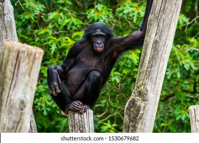 funny bonobo standing in a seductive pose, pygmy chimpanzee, human ape, Endangered primate specie from Africa