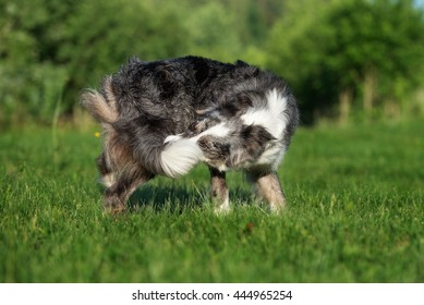 funny border collie dog catches his tail