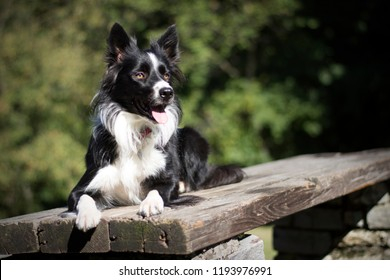 Funny border collie puppy lying on a wooden table in the woods