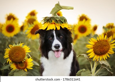 Funny border collie at the sunflower field