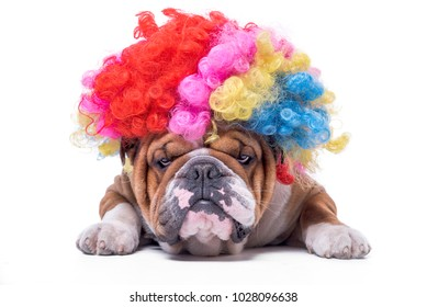 Funny and bored English bulldog with clown wig,isolated on white background