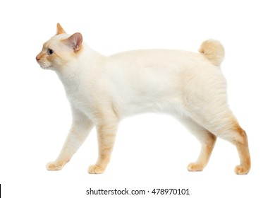 Funny Breed Mekong Bobtail Cat Blue eyed, Walking, Isolated White Background, Color-point Fur