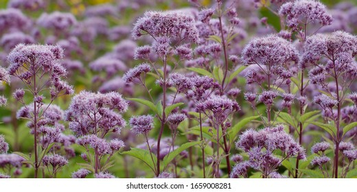 funny bright lilac flowers of eupatorium blooming in a summer field