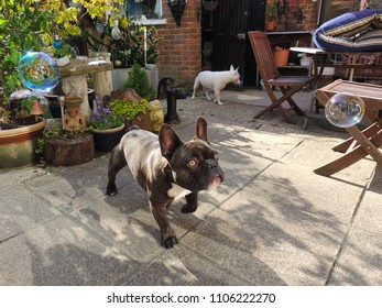 Funny brindle coloured french bulldog and white coloured English Bull Terrier playing with soap bubbles in the garden.