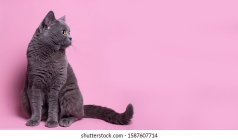 funny British cat portrait on pink background. gray color type, fluffy fur, with copy space