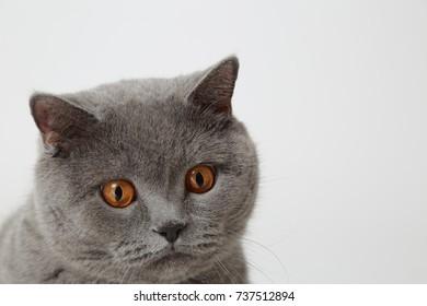 Funny British cat in studio