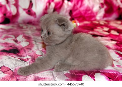 Funny British kitten . Pets, Scottish  breed. portrait of beautiful small cat at home