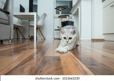 Funny british shorthair female kitten, three months old, black silver blue tabby whiskas cat is playing with her white paws on the brown parquerty floor at home.