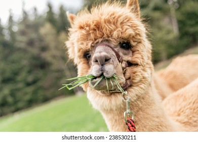 Funny  brown alpaca with mouth full of grass