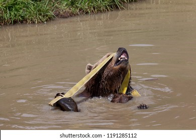 A funny brown bear playing with and old yellow firehose while sitting in a muddy pond in the sunshine.
