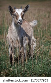 Funny brown beautiful goatling in the field with straws