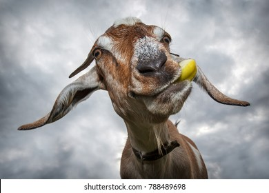 Funny brown goat chew yellow apple