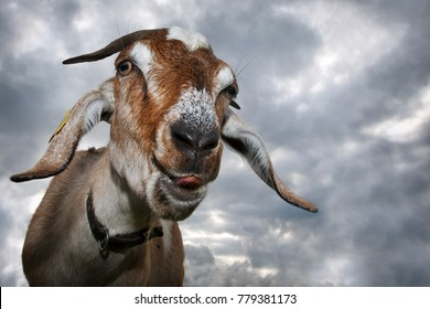 Funny brown goat shows his tongue