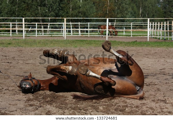 Funny brown horse rolling on the ground in summer