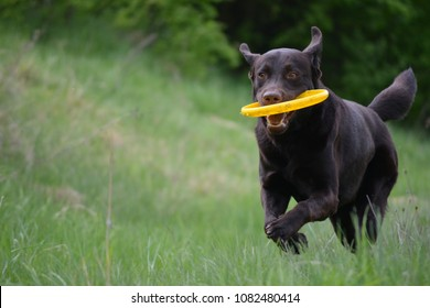 Funny brown labrador playing with a flying disk.
