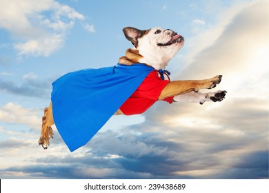 A funny Bulldog dressed as a super hero in a red shirt and blue cape flying through the sky