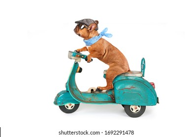 funny bulldog enjoy his ride on pedal scooter, travel concept