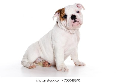 Funny bulldog puppy (isolated on white)