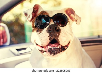 funny bulldog in sunglasses in the car