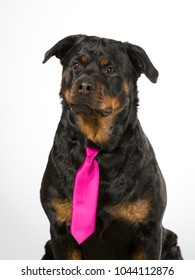 Funny business Rottweiler dog portrait. Image taken in a studio. The dog is wearing purple tie.