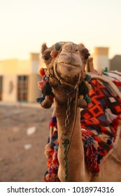 funny camel head close up with colorful traditional harness in Africa - tourist transport