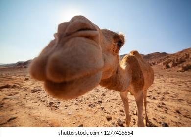 Funny Camel on Desert.