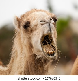funny camel open mouth