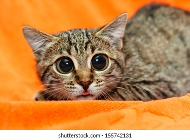 Funny Cat with big eyes on orange background
