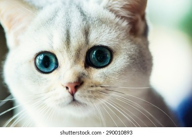 Funny cat with blue eyes