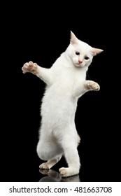 Funny Cat of Breed Mekong Bobtail without tail, Clumsy Standing on Hind Legs, Isolated Black Background, Color-point White Fur, learning to walk