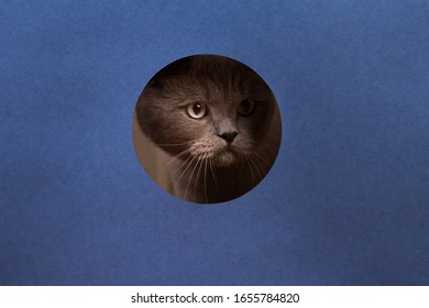 Funny cat British Shorthair looks out of a torn hole in a paper