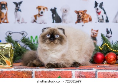 funny cat with a Christmas tree and gifts