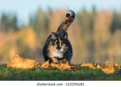 Funny cat hunting in autumn