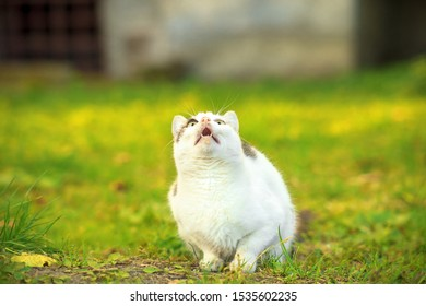 Funny cat with open mouth hunt in summer sunny garden. White markings cute kitty sitting on green lawn. Animals hunting in grass, sun light day