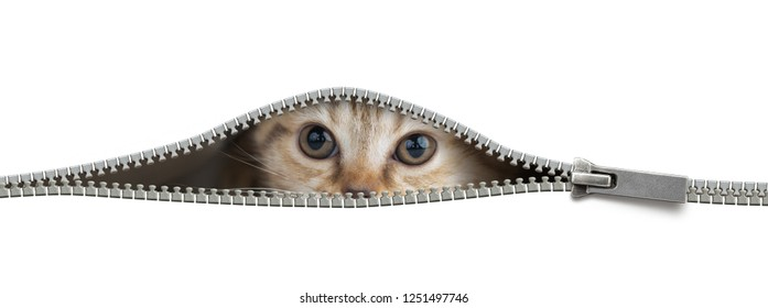 Funny cat in open zipper hole isolated