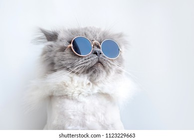 funny cat posing in sunglasses