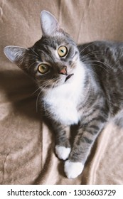 funny cat with questioning look - gray tabby domestic pet looking up at camera