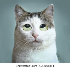 funny cat roll eyes close up photo