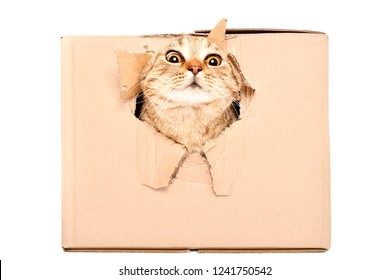 Funny cat Scottish Strait looks out of a torn hole in a box