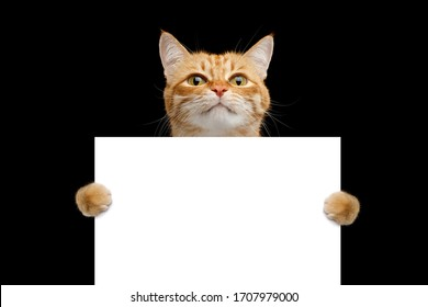 Funny cat showing a placard isolated on black background, blank web banner template and horizontally copy space