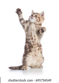 Funny cat standing or catching and looking up isolated