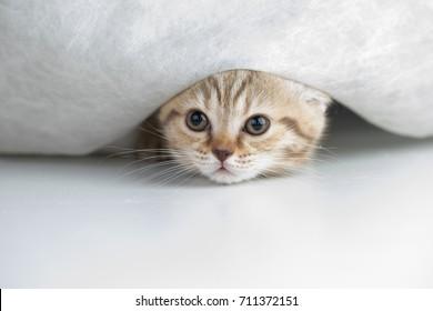 Funny cat under curtain