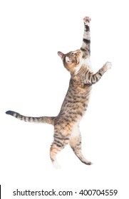 Funny cat walking on its hind legs isolated on white