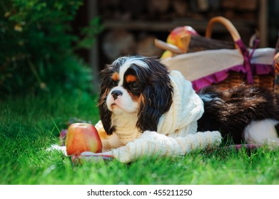 funny cavalier king charles spaniel dog relaxing with apples in autumn garden, fall harvest