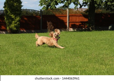 Funny cavapoo dog chasing a ball with ears in the air, in a garden, warm sunny weather