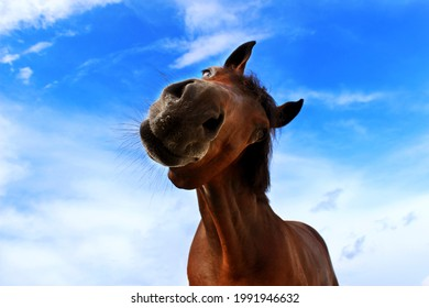 Funny chestnut horse looking to the camera, blue cloudy sky background. Horse, farm concept.