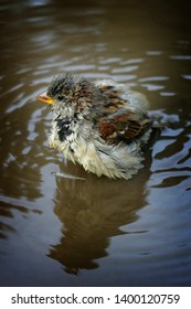 funny chick Sparrow bathes in a big puddle