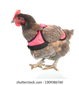 Funny chicken with pink vest isolated over white background