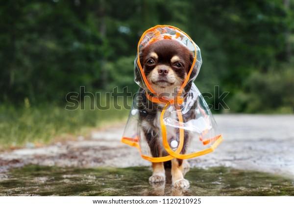 sjov chihuahua hund poserer i en regnfrakke udendørs af en vandpyt